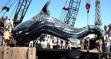 gaint whale shark