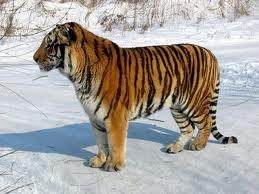 p  tigers