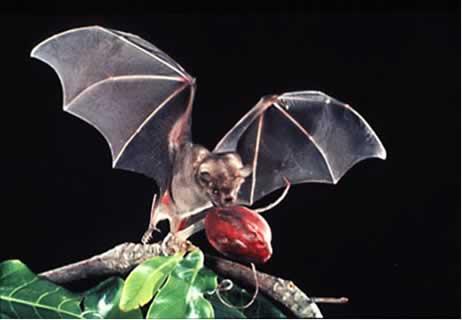 bats in pakistan