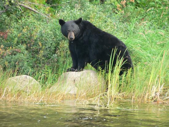 animalia,chordata,mammalia,carnivora,caniformia,ursidae,bear,wild life,black bear