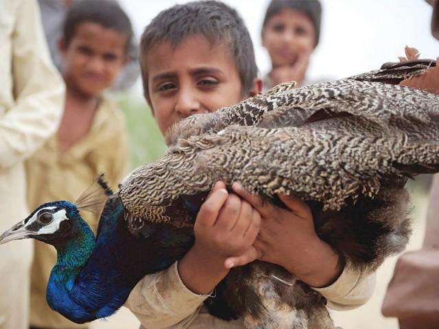 Disease In Wild Peacoks
