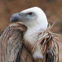 International Vultures day 1st september