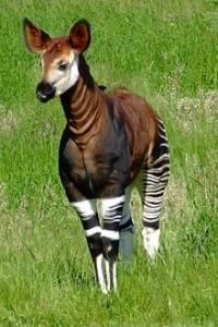 okapi rare animal specie