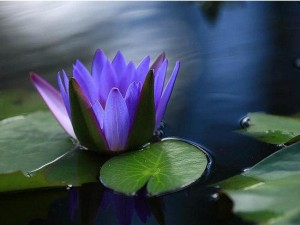 water lotus beautiful flower
