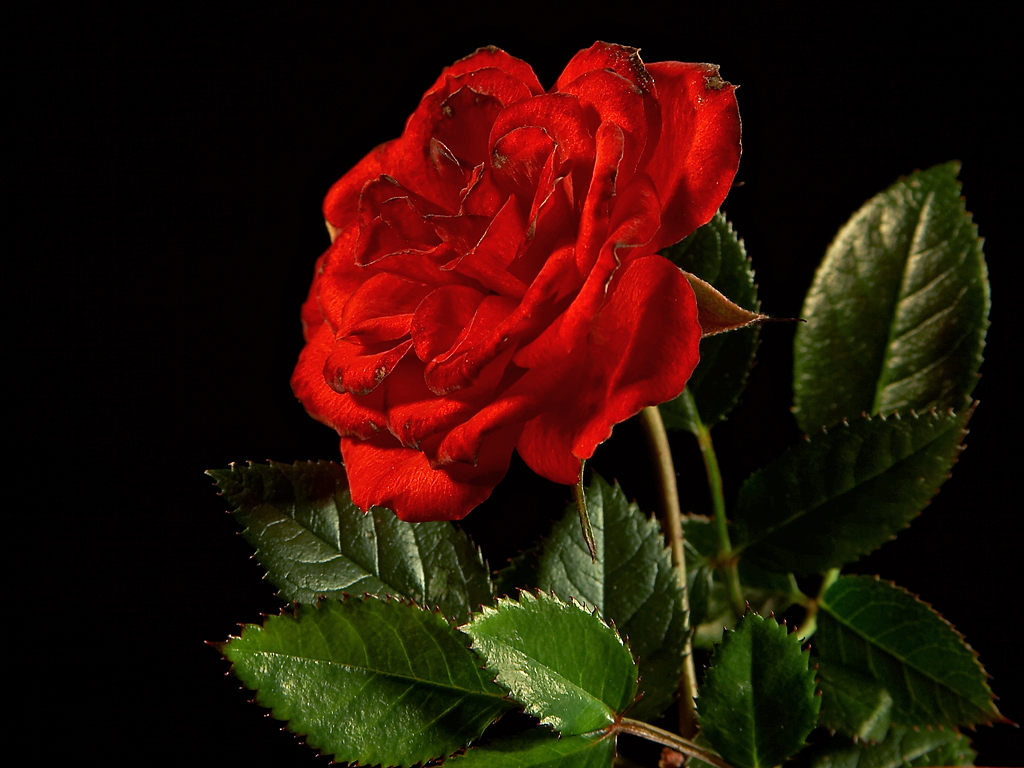 Top 10 beautiful flowers red rose most beautiful flower red rose taggedtop 10 beautiful flowers izmirmasajfo