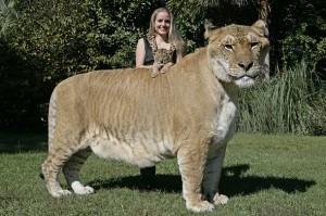 a liger-rare animals