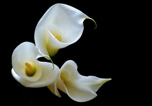 Calla lily beautiful flower