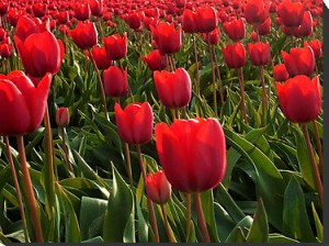 red tullips beautiful flowers