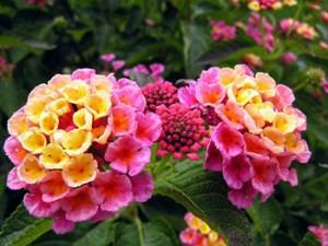 lantana beautiful flower