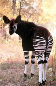 okapi rare animal specie