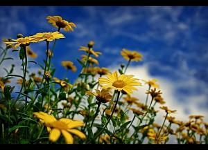 Yellow daises beautiful flower