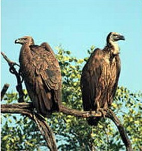 international vultures day