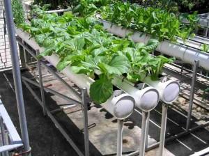 hydrophonic gardening