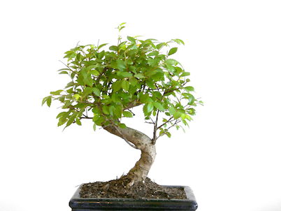 tips for healthy growing bonsai trees