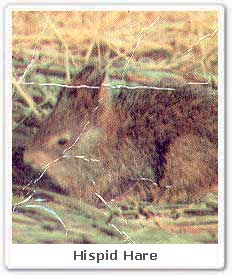 hispid hare rare specie