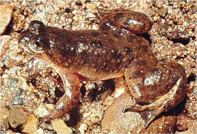 The Gastric Brooding Frog