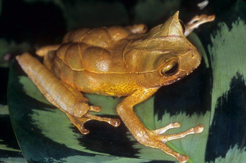 The Marsupial Frogs