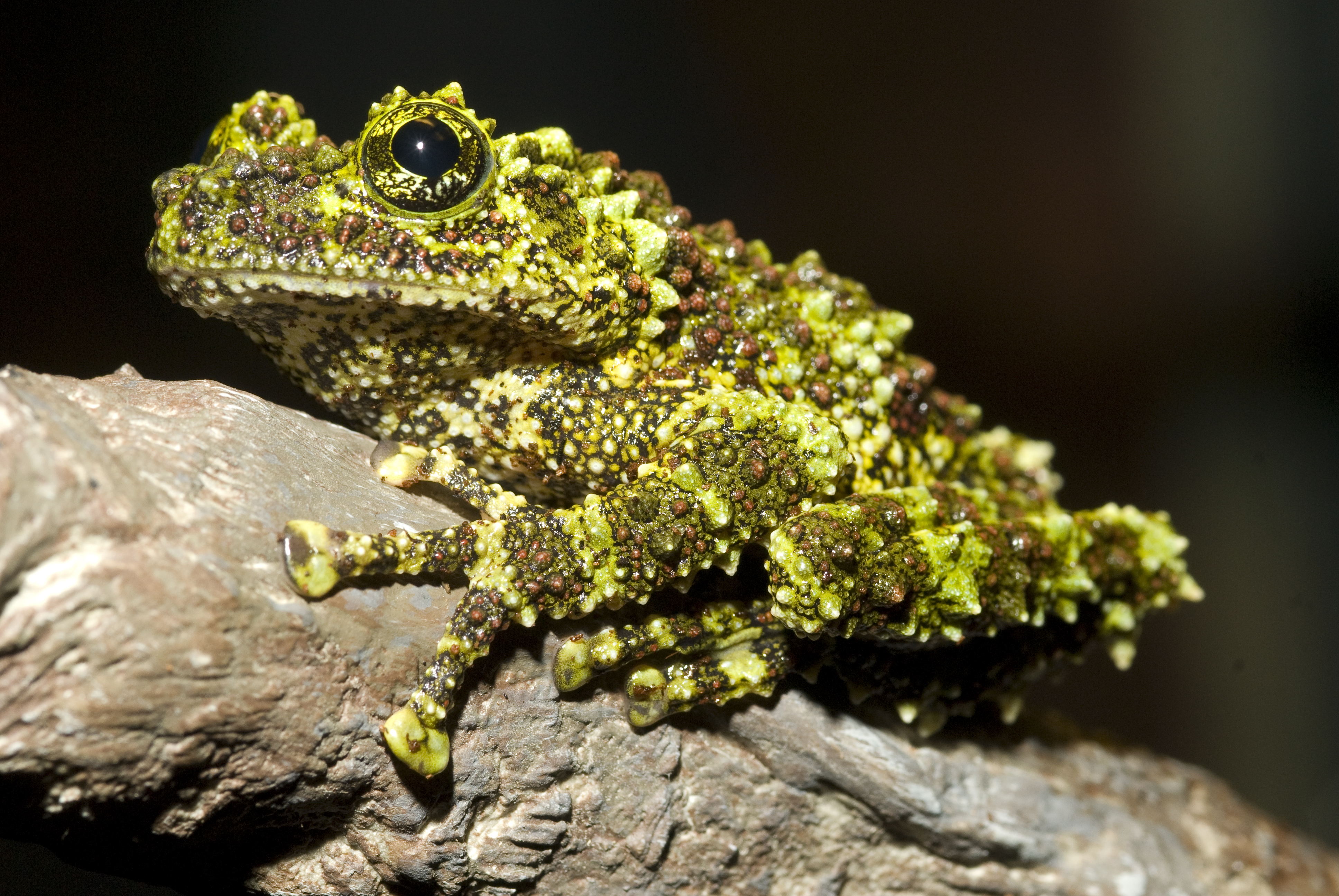 A vietnamese mossy frog