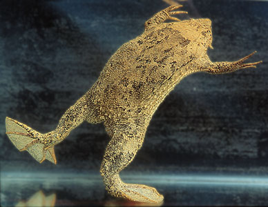 The Surinam Toad