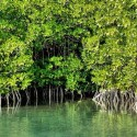 Mangroves Declining