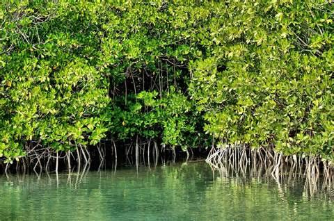 Mangroves Declining